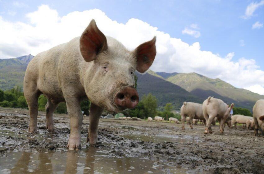 Histórico: Trasplantan con éxito el riñón de un cerdo a mujer con muerte cerebral
